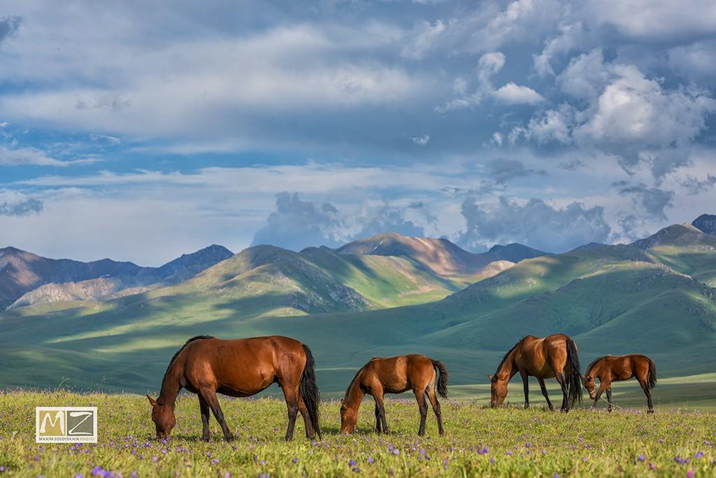 кони пастбище холмы Казахстан фотограф Максим Золотухин