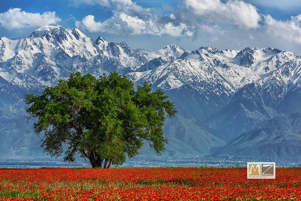 poppy field Kazakhstan mountains green tree