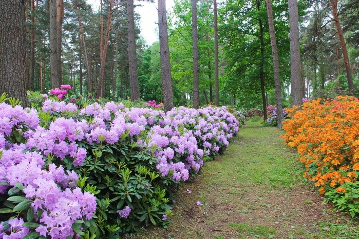 """DIMASH QUDAIBERGEN"" and ""MIUANIZ"" rhododendrons to be planted in Latvia"