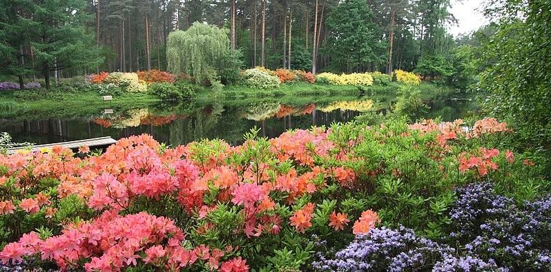 В Латвии состоится высадка рододендронов «DIMASH QUDAIBERGEN» и «MIUANIZ»